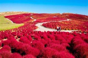 「茨城县」秋季限定红色花海最吸睛