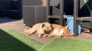 史上最疗愈!巴哥躺「柴犬枕头」晒太阳网融化:太可爱啦