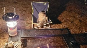 稀客光顾!露营暂离座位却被「霸占」 胖猫开腿超享受