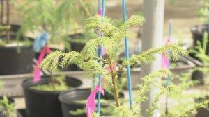 日本鸟取县成功培育出无花粉杉树 有望减轻花粉症