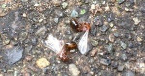 话题:日本政府全面启动对策阻止红火蚁定居