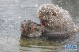 日本长野:雪猴惬意享温泉
