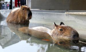 日本水豚泡温泉憨态可掬 游客们大呼可爱