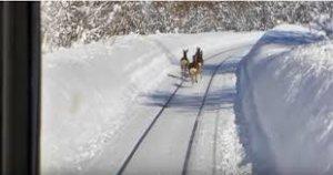 日本电车撞鹿事故增疑似鹿群缺铁质舔轨道所致