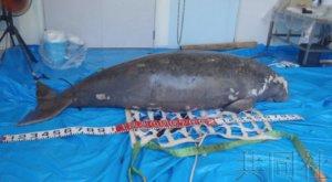 IUCN建议日本政府对冲绳儒艮展开综合调查