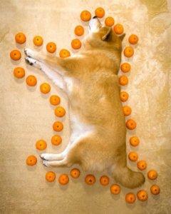 狗狗面积该怎么算?柴柴躺地熟睡饲主偷用「橘子」整圈量