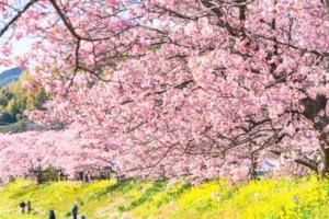 迎接日本最美早樱「4大河津樱名所」旅游攻略公布