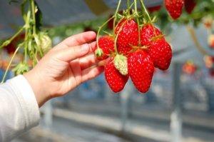 伊豆草莓园