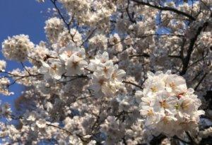 日本暖春民间气象估东京樱花3月19日提前开