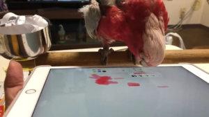 鹦鹉用舌尖在平板iPad作画网友夸:天才画师