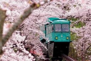 日本樱花开花日期出炉!大阪3/25、东京3/21开花