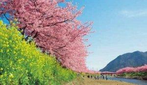 2020中部赏樱景点  【河津川】