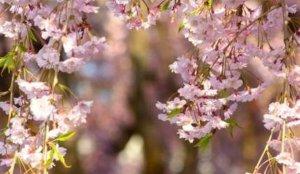 2020奈良赏樱景点 高见之乡的枝垂樱