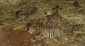 北海道旭山动物园出生三只东北虎