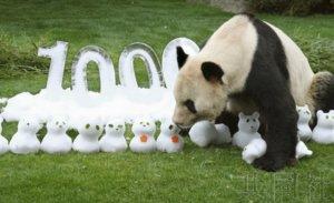 """和歌山大熊猫""""永明""""迎来出生一万天"""