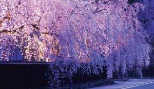 【秋田】角馆的樱花季