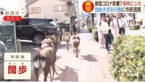 日本沦陷观光客骤减!「奈良鹿」饿坏暴走…占领市区啃花草