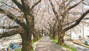 2020北陆赏樱景点 福井县足羽川樱并木