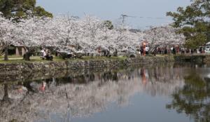 2020九州樱花景点 佐贺县小城公园