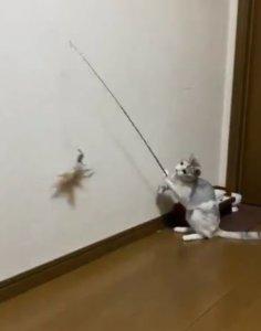 猫奴我不需要你了!猫咪超进化拿逗猫棒「自己玩自己」