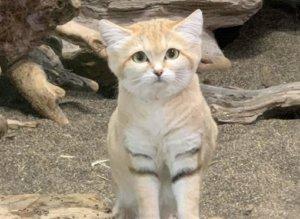 稀有萌猫爱吃毒蛇!捕猎画面曝光它「皮被扯开」超惊悚