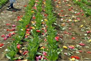 为避免赏花人群聚集 日本景点砍80万株郁金香