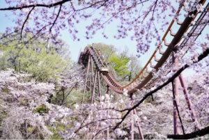 东京内行人私房赏樱秘境!京王读卖乐园「千棵樱花树」春之攻略