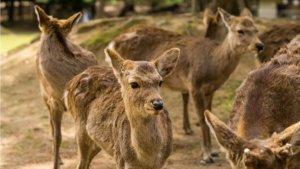 日本奈良鹿趴趴走保育团体:应跟鹿饼无关