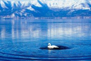 北海道屈斜路湖有蛇颈龙?