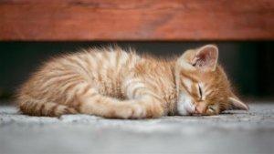 研究:猫会相互传染新型冠状病毒