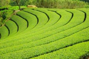 兼具历史与传统的京都宇治茶