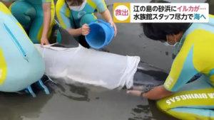 日本海豚冲上江之岛沙滩险死水族馆人员火速到场救一命