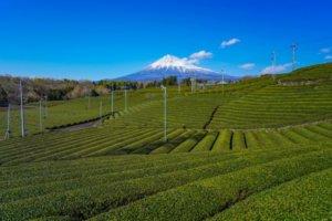 茶叶生产量居日本之冠的静冈茶