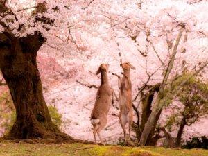 日本摄影师眼中的春之奈良只有樱花与鹿的粉色童话仙境!