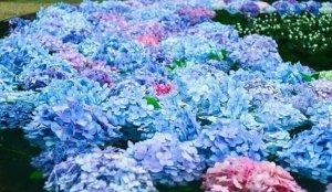 【大阪】绣球花的礼葬「久安寺」