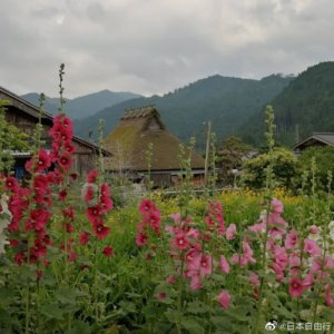 位于京都的秘境  被誉为小合掌村的 美山 茅草屋之里