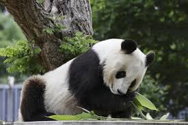 神户王子动物园重新开放 市民与大熊猫旦旦惜别