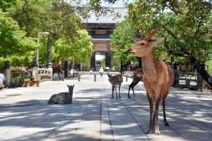 受疫情影响游客大幅减少 奈良小鹿肠胃状况变好