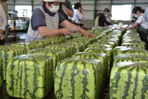 香川特产方形西瓜开始出货