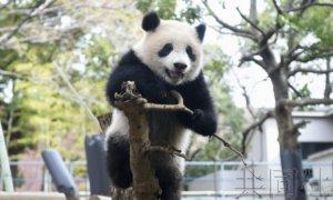 上野动物园准备为3岁大熊猫香香在线庆生