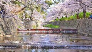 【阪急夙川站】观光客还不知道的赏樱胜地!「夙川公园」散步