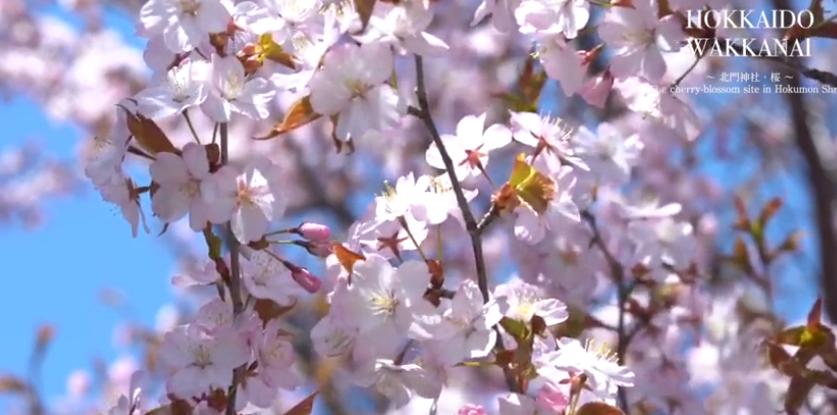 稚内樱花(稚内公园、北门神社)