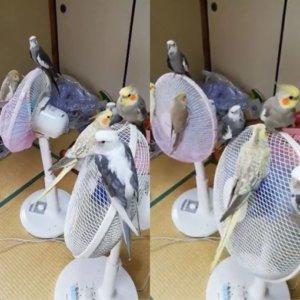 最佳避暑胜地!7鹦鹉离不开「乘凉」地网笑:电扇长鸟鸟