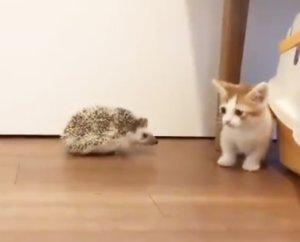 趣一趣│猫星人与刺猬初接触唔敢埋身吓到跳起反应搞笑又可爱