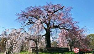 円山公园:京都名胜公园
