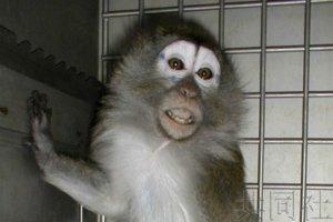 日本研究团队用猴子再现新冠症状