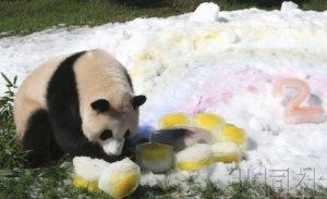 """和歌山雌性大熊猫""""彩滨""""迎来2岁生日"""