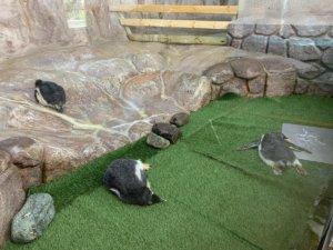 【萌图多】入园惊见企鹅宝宝集体倒地原来都是因为太热了