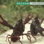 日本小龙虾危及生态11月起禁止贩售