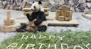 """和歌山大熊猫""""良滨""""迎来20岁生日"""